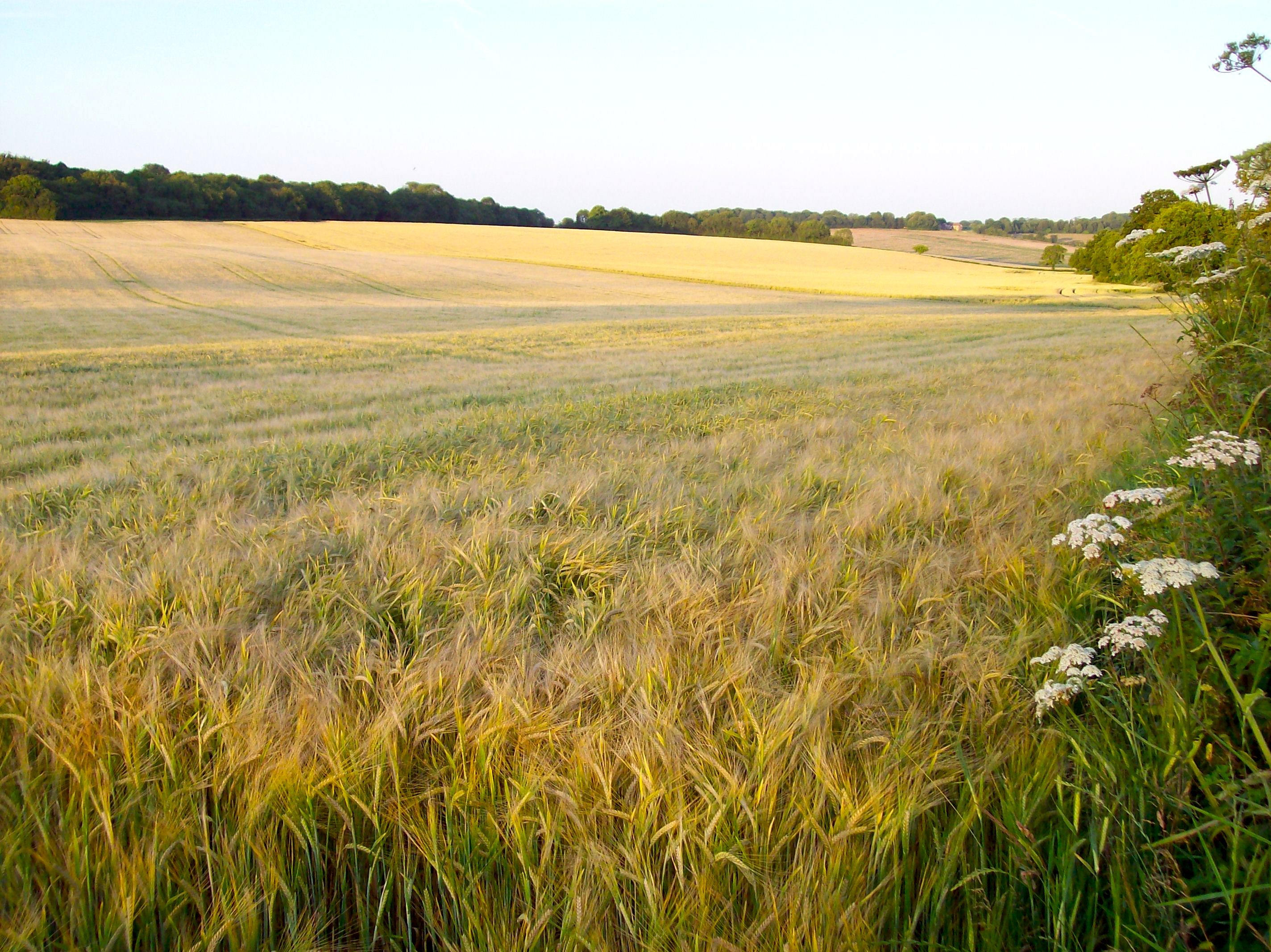 barley fields by nitrok - photo #27