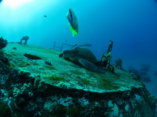 Giant Sea Turtle on the wreck dive we did in Maui