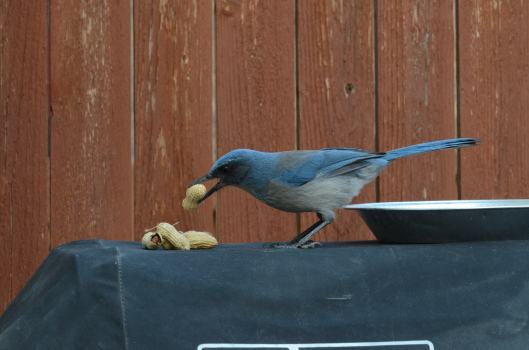Hey, not so bad! Hello Scrub Jay.