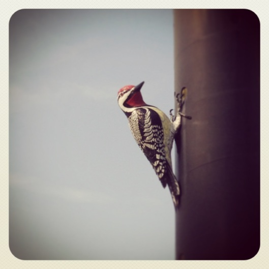 In case you didn't know, that there is a Yellow-bellied Sapsucker.