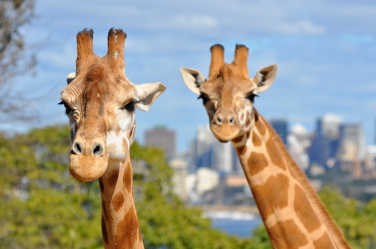 Aww, how cute! Giraffes with Sydney skyline in the background.