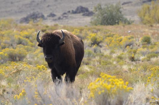 Buffalo at Antelope Island
