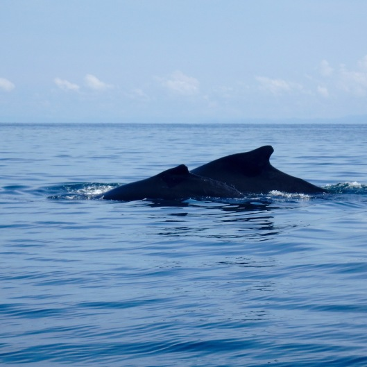 Humpback whale and calf Panama Pearl Islands